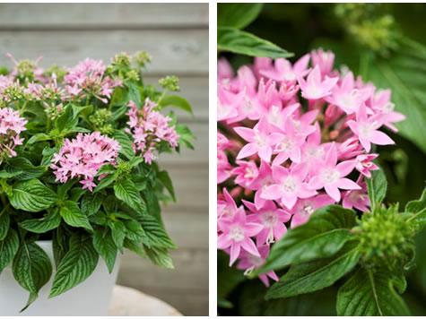 terras_plant_vh_jaar_petunia