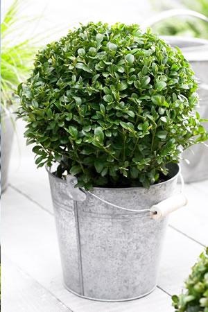 buxus_plant_bol_terras